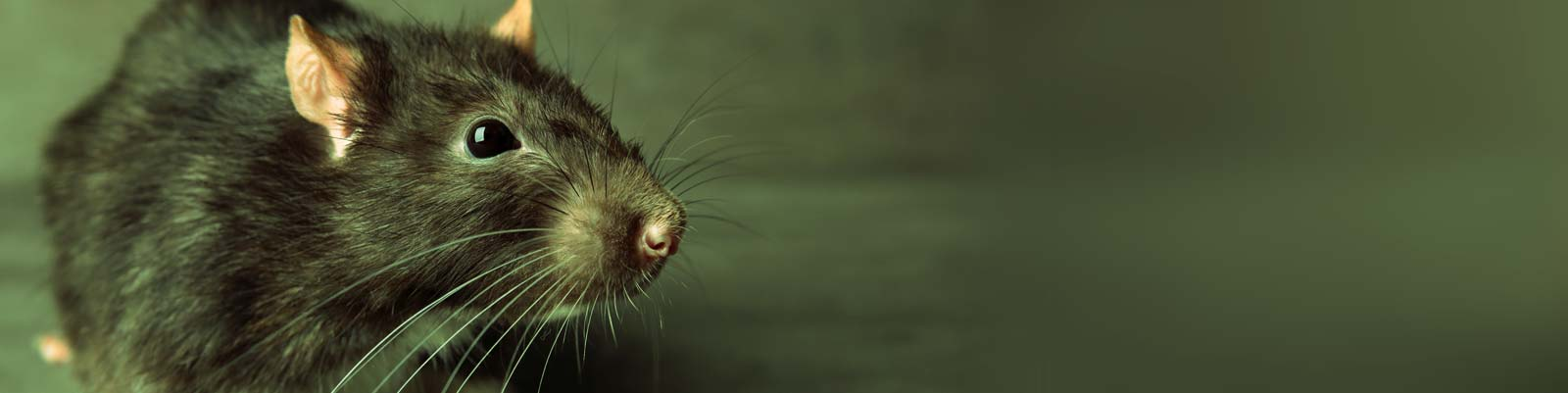 Rats Can Chew Through Plastic Airbricks