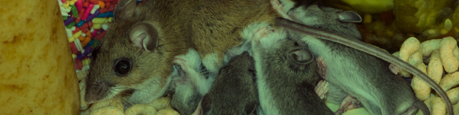 Got Mice? 3 Easy Signs of a Rodent Infestation